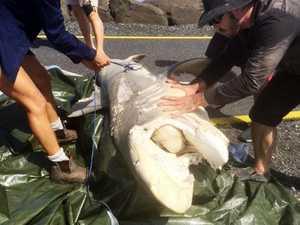 Shark removed from rock wall at Ballina