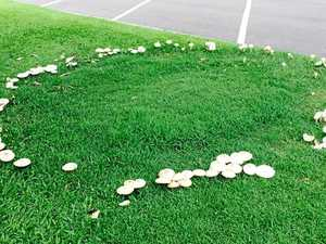 Massive mushrooms pop up after rain on the Fraser Coast