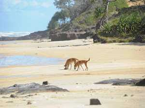 Science competition could unlock key to Dingo survival