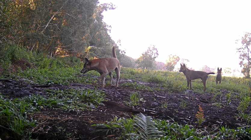 Biosecurity Queensland has not been able to prove the effectiveness of its wild dog management plan to the Queensland Audit Office.