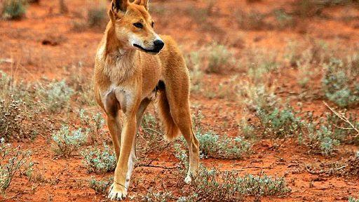 Biosecurity Queensland's wild dog management plan has been audited.