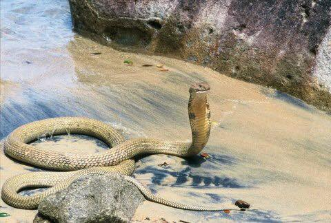 The reported King Cobra at Shelly Beach turned out to be an April Fools joke.