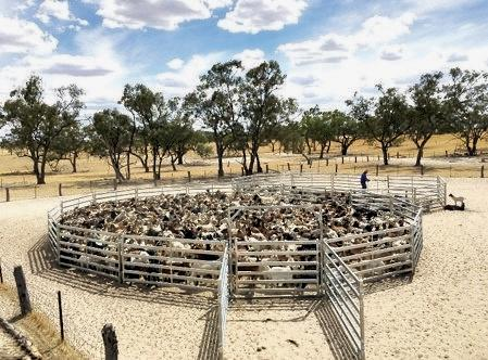 The McLeod family, from Coombah Station, believe goats are a vital part of their business.