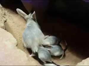 WATCH: baby bilby triplets