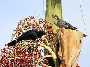 Bird date for this Koel couple