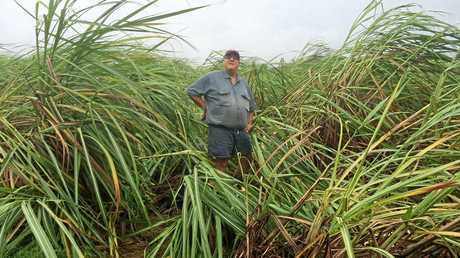BLOWN AWAY: Canegrowers Queensland chairman and Farleigh cane grower Paul Schembri in a damaged cane field following Tropical Cyclone Debbie.