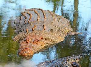Massive crocodile spotted lurking in flooded Fitzroy waters