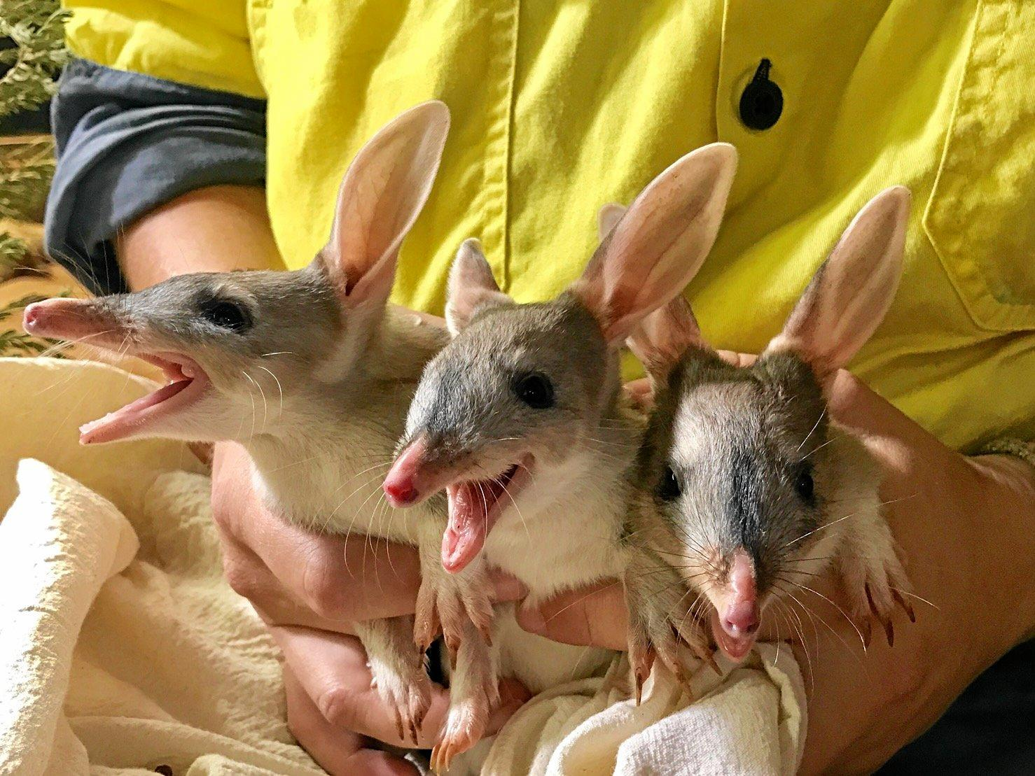 Bilby triplets came out of their mother's pouch at the Bilby Burrow earlier this week, the latest additions to the bilby breeding program.