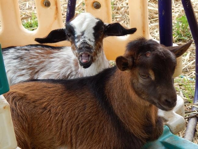 Mini goats make great family pets due to their gentle temperament.