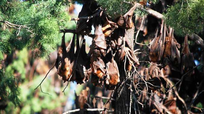 BATS ARE BACK: Ex-Tropical Cyclone Debbie forces bats back to Duaringa.