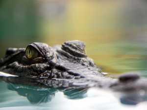 CROC-WATCH: Traps set to remove 'problem crocodile'