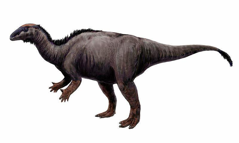PLANT EATER: An ornithopod dinosaur known as a Camptosaurus. Ornithopod tracks have been found in the Ipswich area.