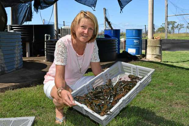 BUSY WEEK: Leah Van Itallie of Central Queensland Crayfish with a tray of harvested crayfish.