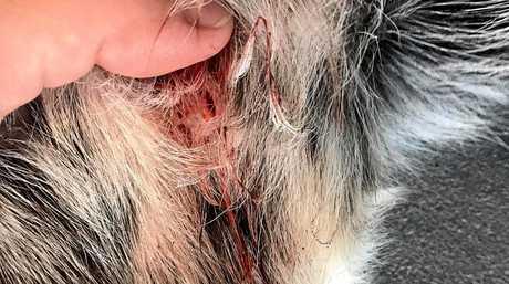 LUCKY ESCAPE: Sarah Tysoe's dog, Marley, after croc bite.