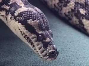 Ice addicted Python goes to rehab