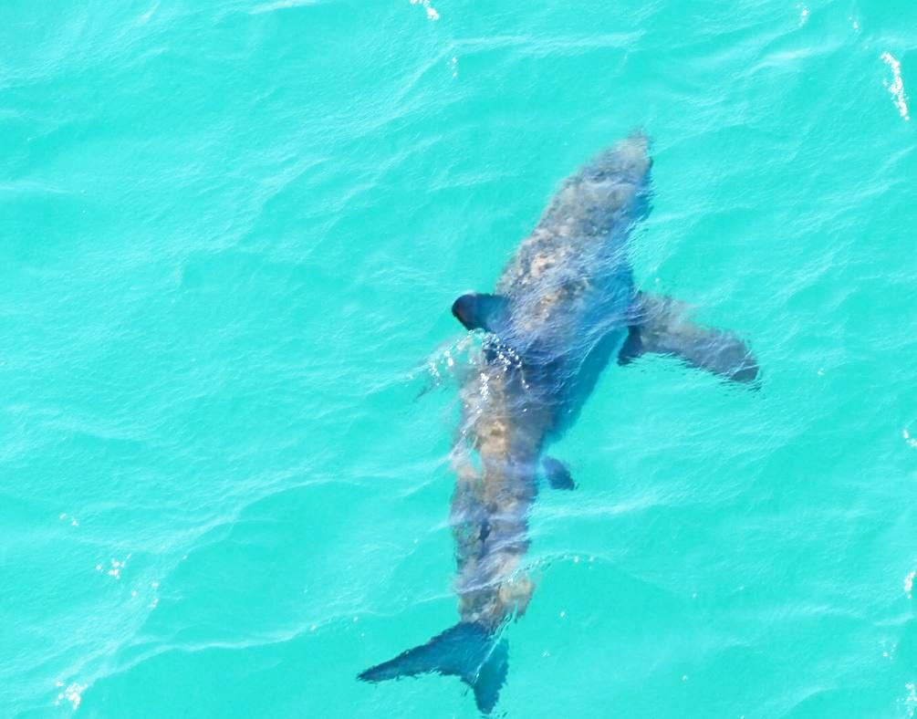 A bull shark in open waters.