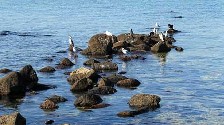 Beautiful bird life on the rocks at Altona Beach