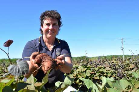 FARMERS' PICK: Linda Zunker digs up Bonita potatoes grown on Bundaberg's Windhum Farm.