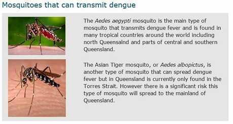 Mosquitos that can carry dengue fever.
