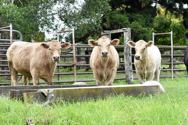 Ian Lindenmayer's triplet Angus cross Charolais calves have grown up ready for market.