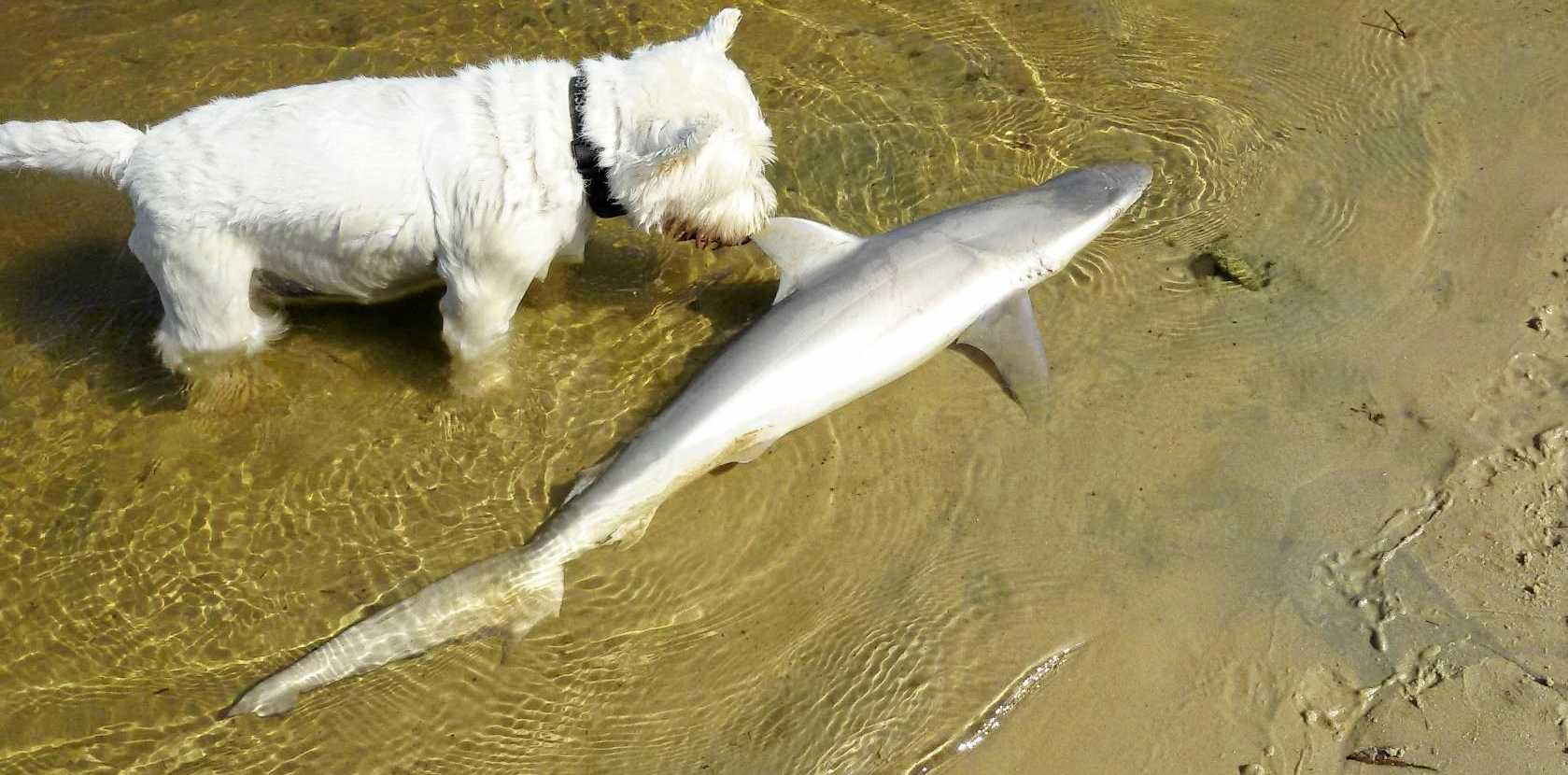 Angus, the West Highland Terrier, finds a bull shark at Stumers Creek.