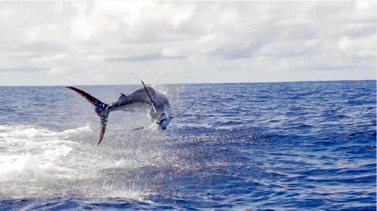 A blue marlin in full flight behind a game boat.