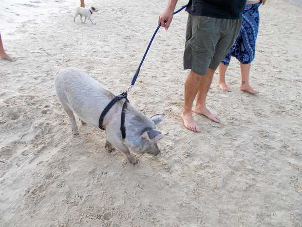Gary Young's photograph of a pig on Coolum Beach.
