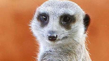 ANIMAL ENCOUNTERS: A Monarto Zoo meerkat.
