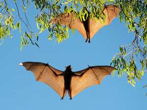 GOING BATTY: Living with flying foxes a hard sell
