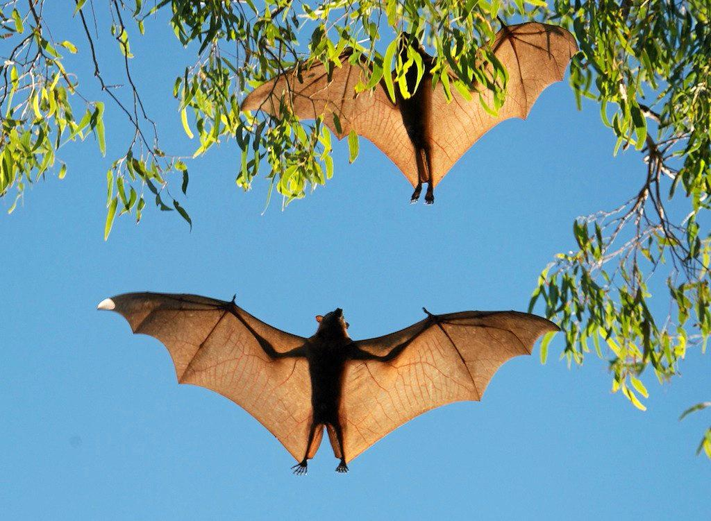 Little Red flying foxes in flight.