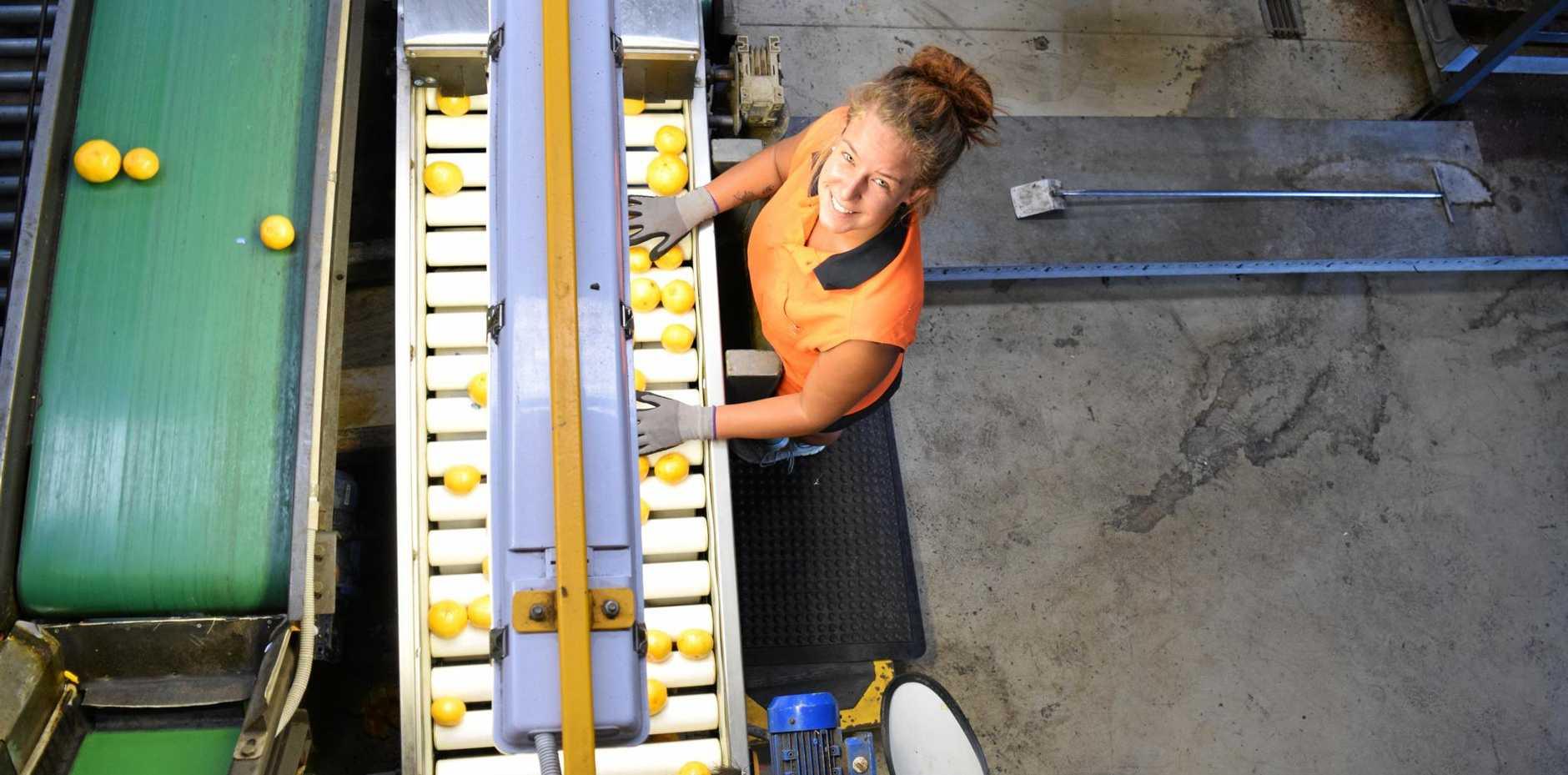 JUICY FRUIT: Packing imperial mandarins at Abbotsleigh Citrus.