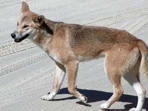 QPWS reveals dingo incidents on the rise at Fraser Island