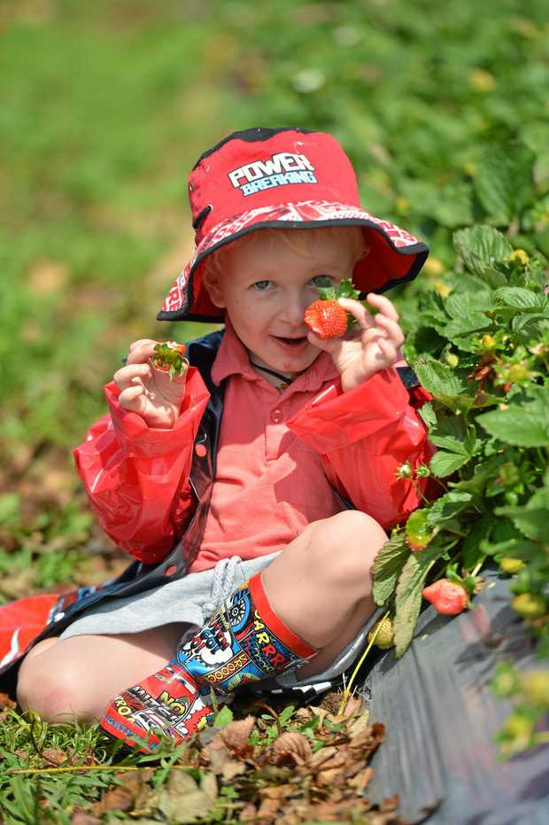 FRESH: Three-year-old Ryder McIntosh, of Gympie, visits Cooloola Berries at Wolvi, one of the local farms to be showcased at The J this Saturday.