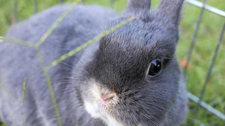 Rabbit Calicivirus