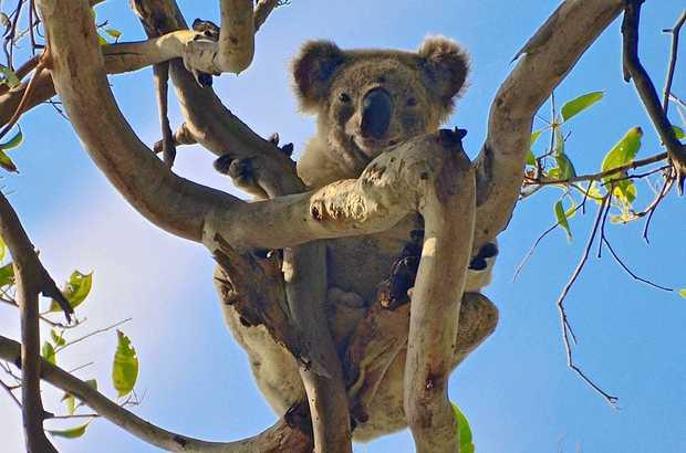 NOOSA SPOTTING: Chances are you may spot a koala in Noosa on Wild Koala Day