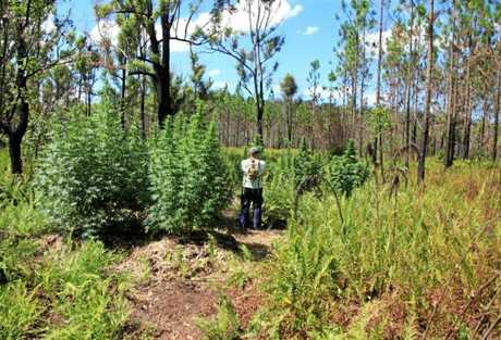 BUSTED: Marijuana crops uncovered growing Gympie region national parks as part of Operation Argilite.