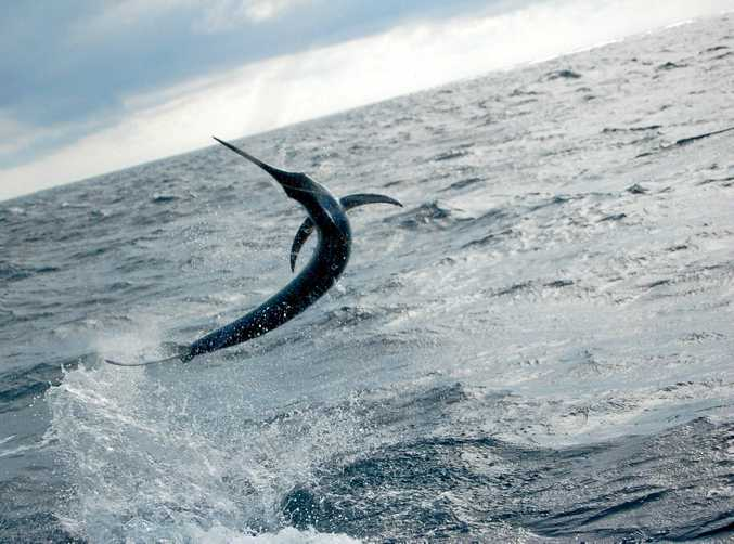 AIR SHOW: A blue marlin in full flight behind a game boat.