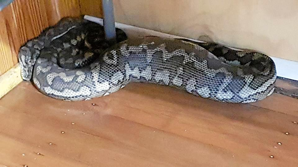 The snake curls up in the corner after its big feed.