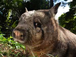 Ruby the wombat has arrived-Wildlife HQ.