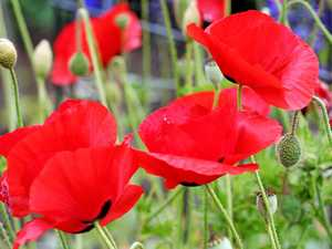 The Flanders poppy.
