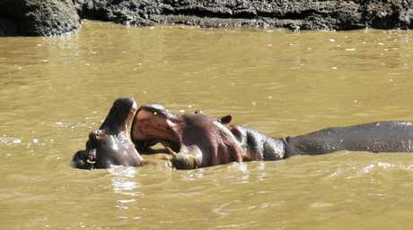 These hippos in the Mara River, just below our tent, display the huge open-mouthed 'yawn' that reveals their formidable teeth.