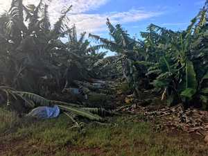 CROPS LOST: The Mackay Family banana farm, Bundaberg, March 2017, following ex-tropical Cyclone Debbie.