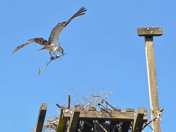 The resident osprey pair at Pelican Waters is getting ready for the nesting season.