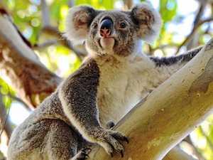 Join the Wild Koala Day walk through Noosa National Park