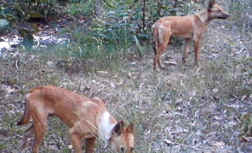 ATTACKS: These wild dogs were photographed hanging around a Hervey Siding property this month next to where the family dog was killed. Photo courtesy of Jo Lee.