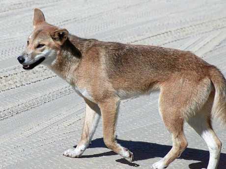 A young dingo on Fraser Island.