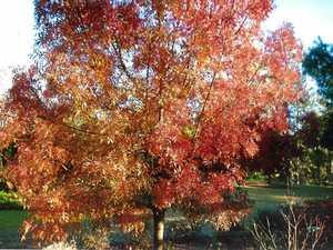 MAGNIFICENT: The beautiful autumn colours of Fraxinus angustifolia (claret ash).