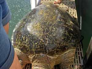 Turtle hit and killed but QPWS says no offence committed