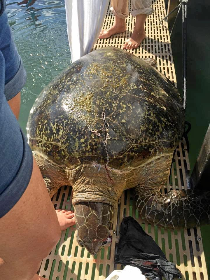 The injured turtle, weighing about 100kgs is pulled onto the platform of the boat.
