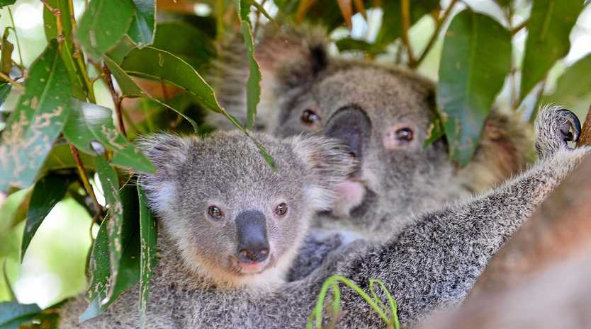 Already a vulnerable species, there are fears for koalas in the face of proposed 'intensive' logging operations on the NSW north coast.